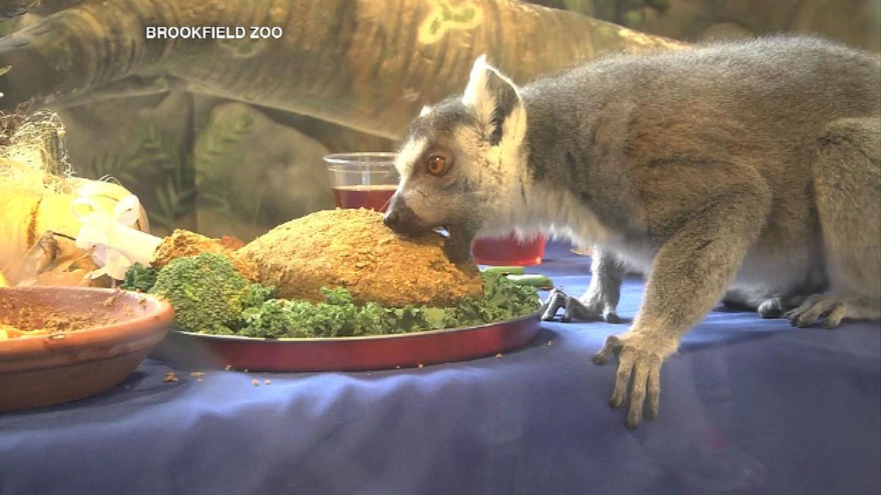 Lemurs enjoy Thanksgiving feast