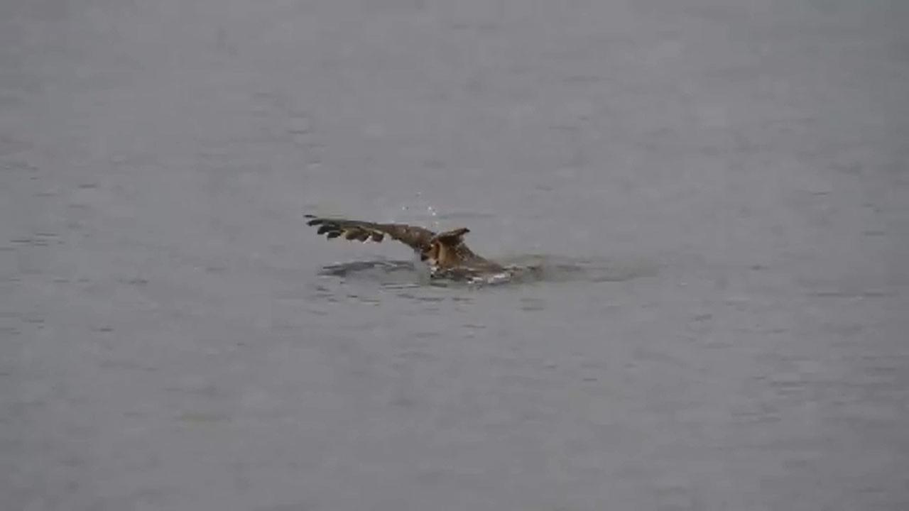 Owl swimming in Lake Michigan video recorded in Chicago