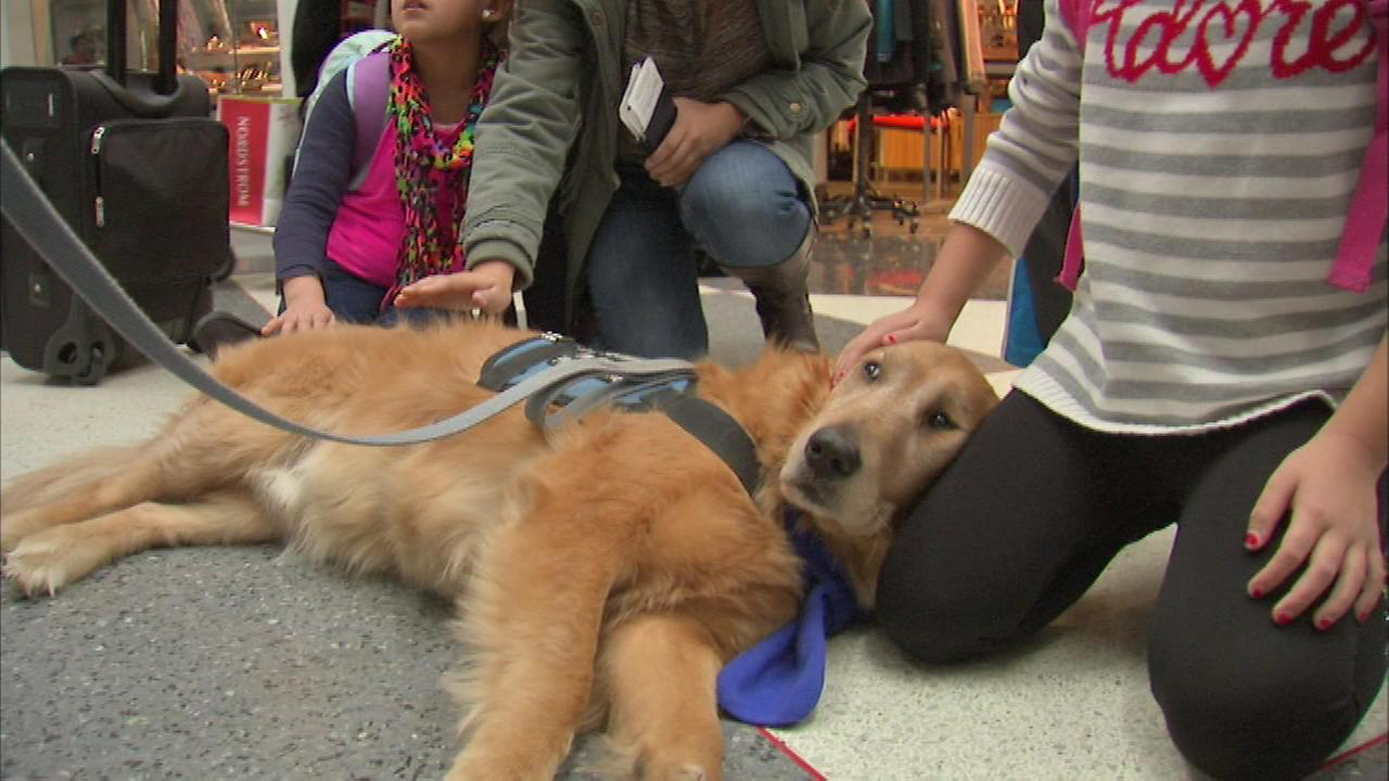 Five golden retriever comfort dogs were on hand for travelers to pet and enjoy on Monday.