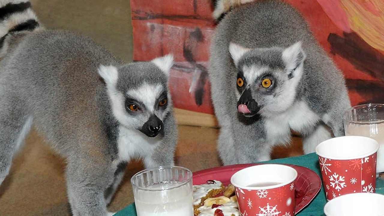 Ring-tailed lemurs celebrate at Brookfield Zoo holiday party.