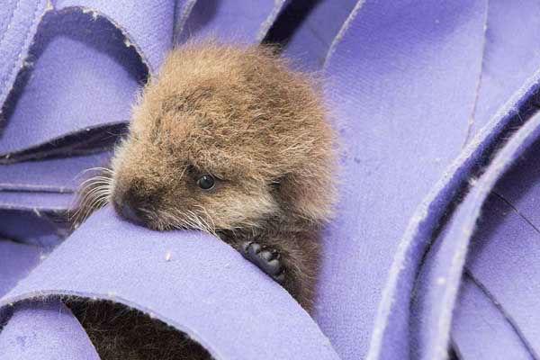 rescued sea otter pup at shedd aquarium gets a real name