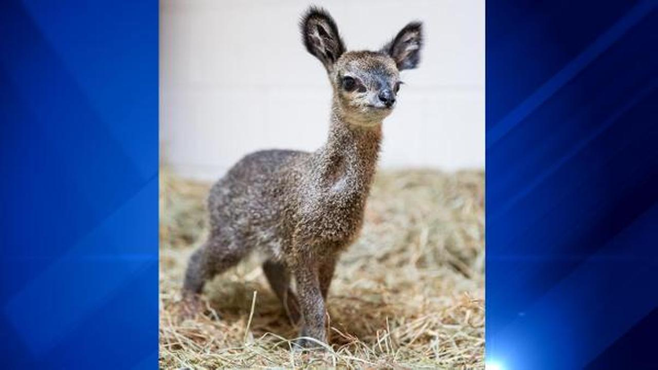 The female klipspringer calf born this spring at Lincoln Park Zoo has been named Asha. The name means hope in Swahili.