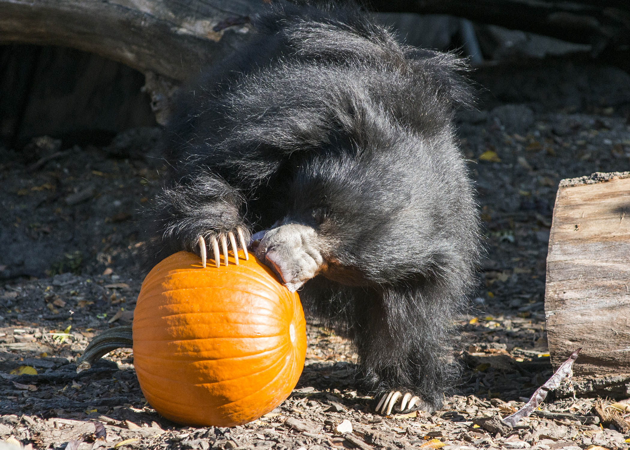 "<div class=""meta image-caption""><div class=""origin-logo origin-image wls""><span>WLS</span></div><span class=""caption-text"">Hani, a 14-year-old sloth bear at Brookfield Zoo, gets ready to dig into a pumpkin that animal care staff gave her as part of the zoo's enrichment program. (Kelly Tone/Chicago Zoological Society)</span></div>"
