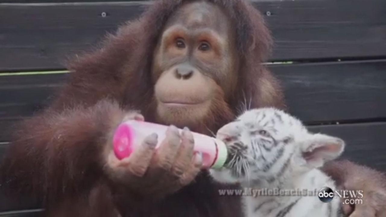 orangutan bottle feeds and nurtures tiger cubs  orangutan and hound dog commercial