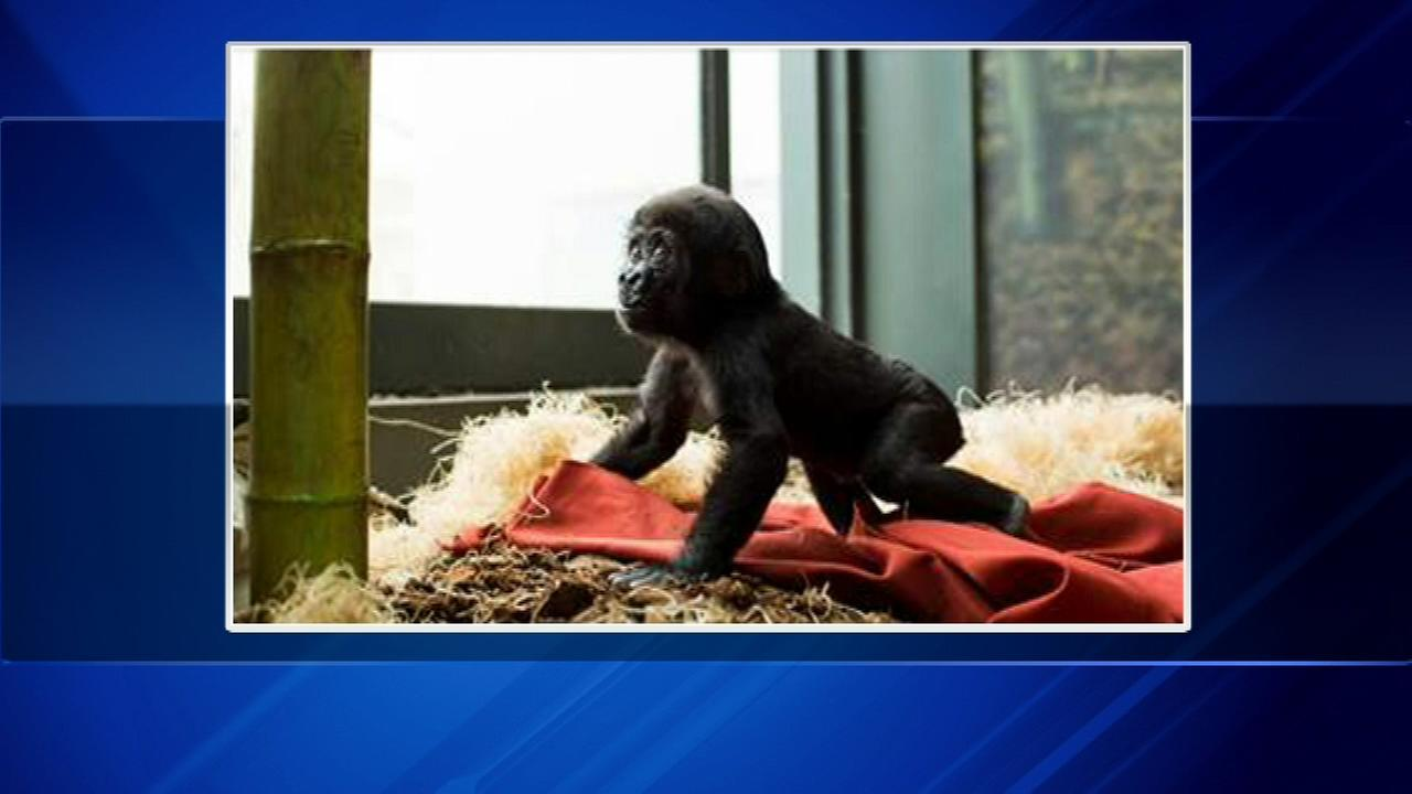 Gorillas at Lincoln Park Zoo are getting the same type of luxurious linens used by thousands of hotel guests.