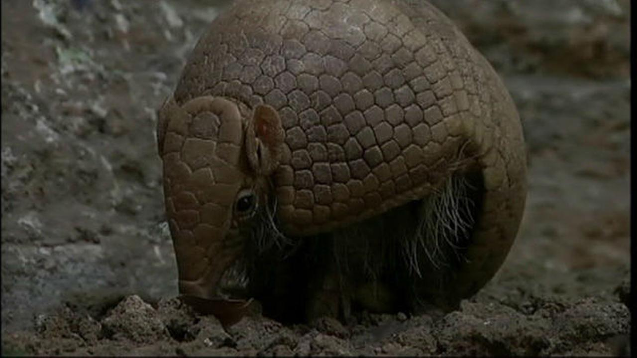 Armadillo popular for World Cup 2014