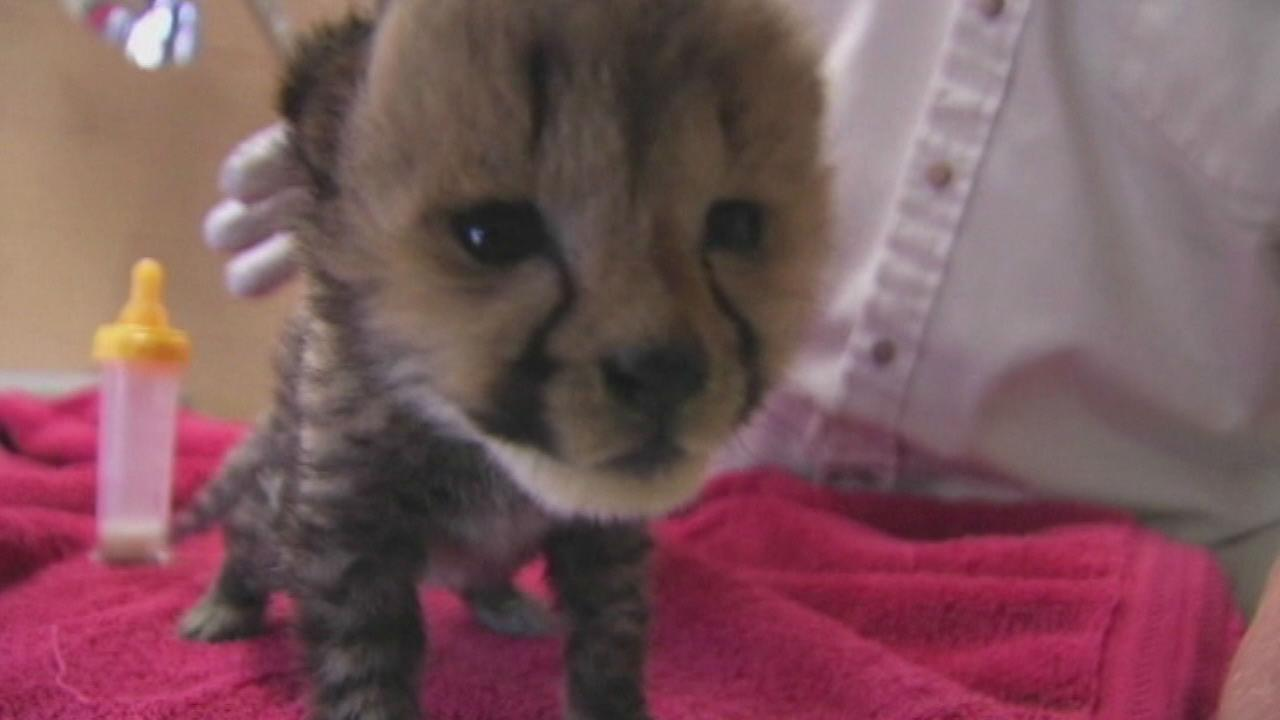 PHOTOS: New Cheetah Cubs at Metro Richmond Zoo in Virginia