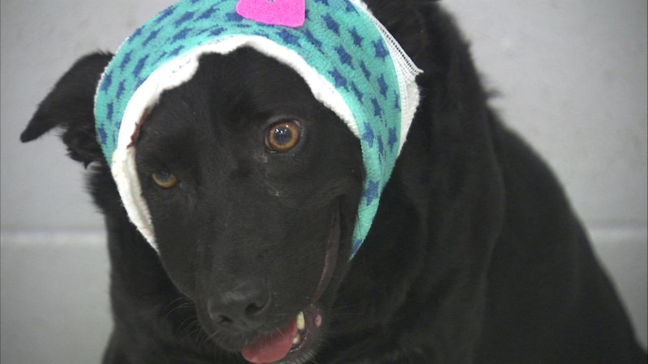 A dog is making a miraculous recovery after she was shot in the head in the citys Rogers Park neighborhood on Wednesday.
