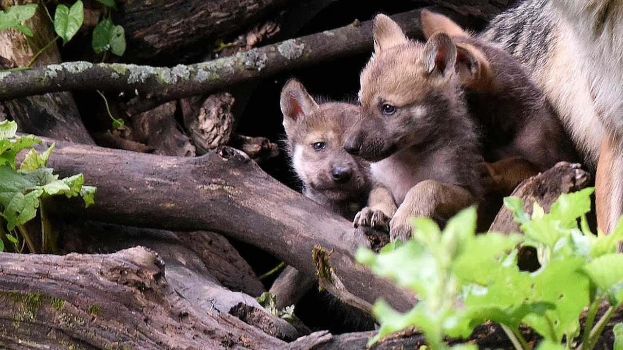 A litter of Mexican gray wolf puppies were born at Brookfield Zoo in late May and have recently emerged from their den.