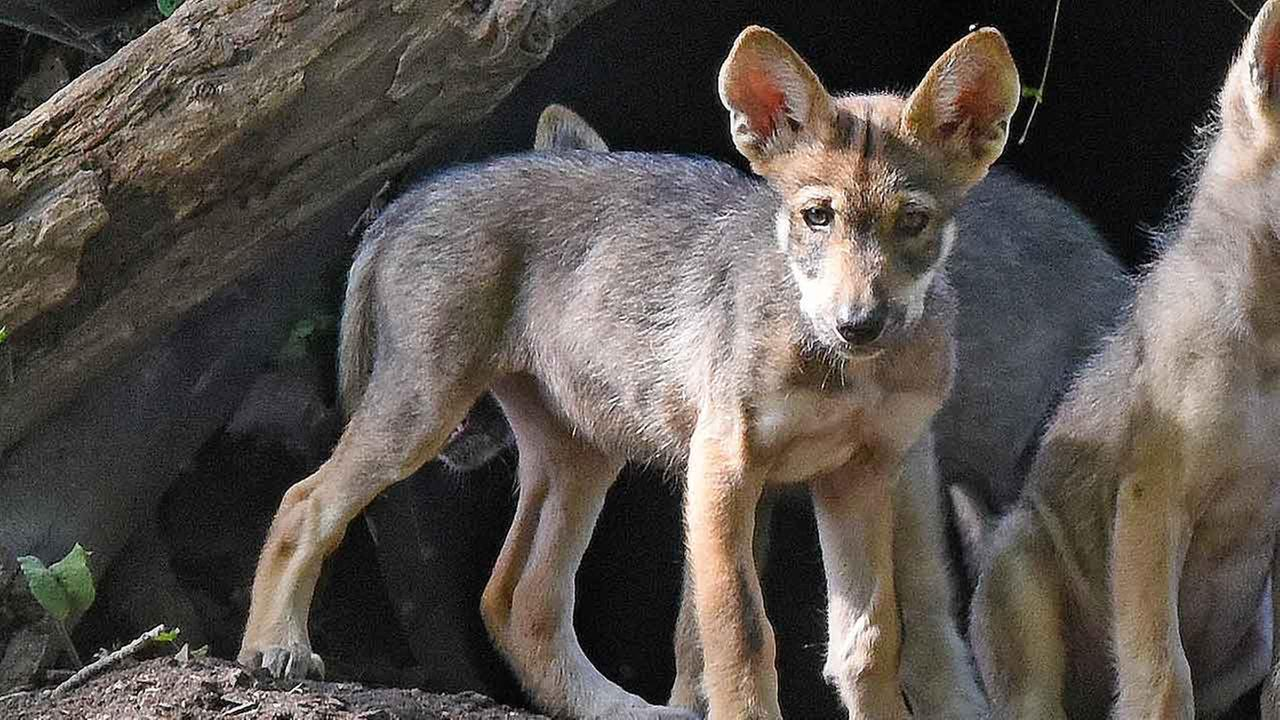 One of the Mexican gray wolf puppies that were born in May at Brookfield Zoo.Courtesy of Brookfield Zoo