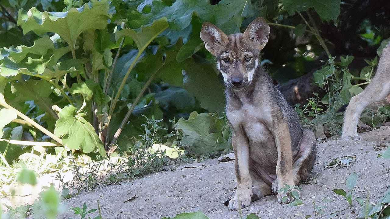 wolf puppiesCourtesy of Brookfield Zoo