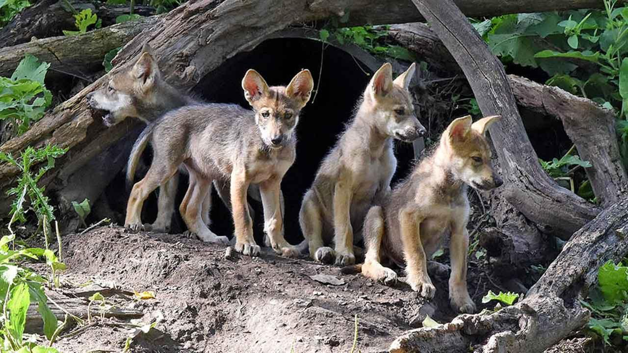 Gray Wolf Pets Mexican Gray Wolf Puppies Were