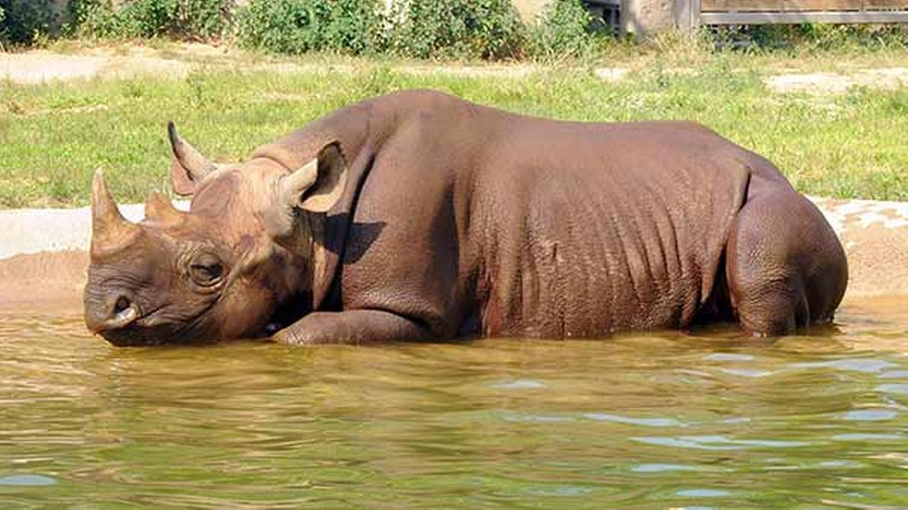 Layla, a 4-year-old black rhino at Brookfield Zoo, seems to be enjoying her pool on Tuesday.