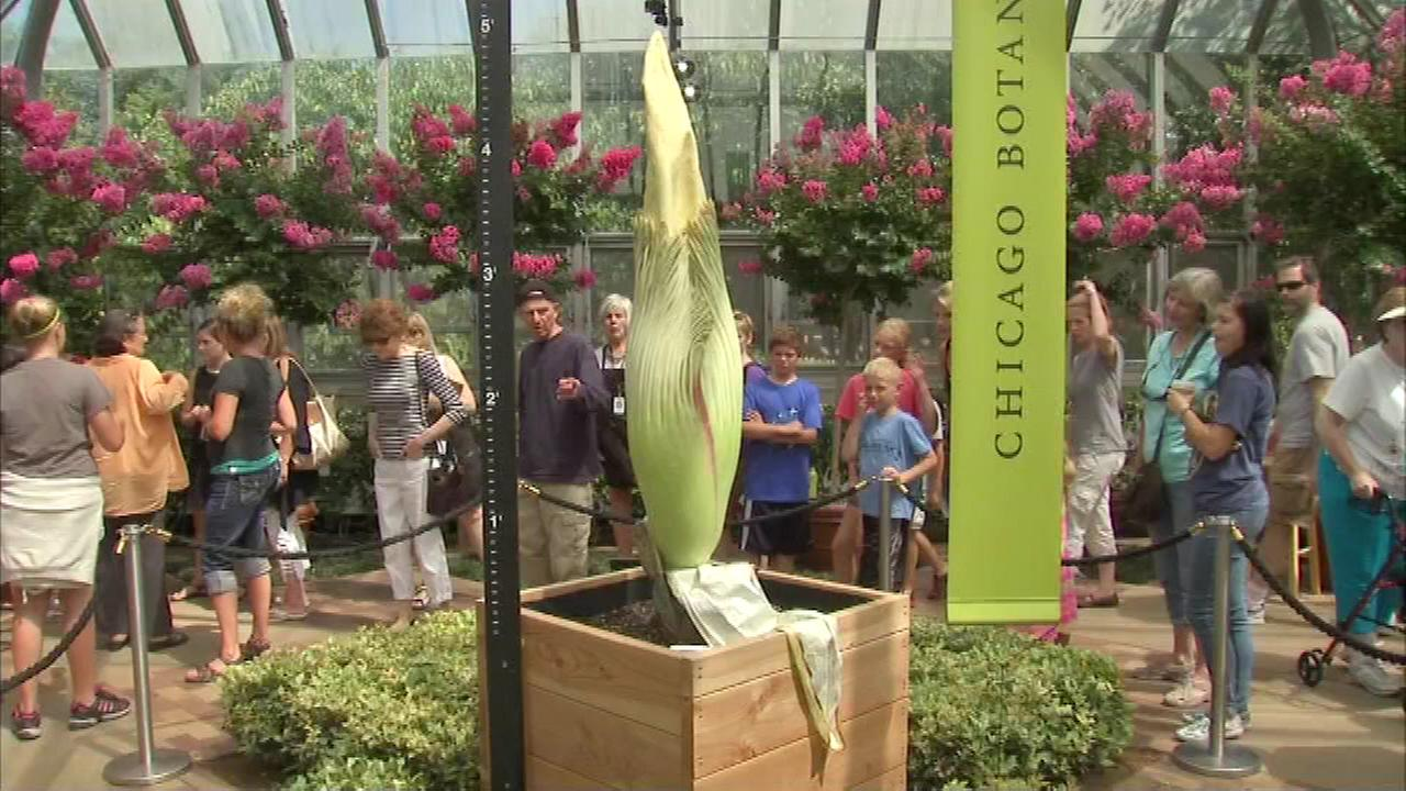 Stinky corpse flower named Sprout blooms at Chicago Botanic Garden