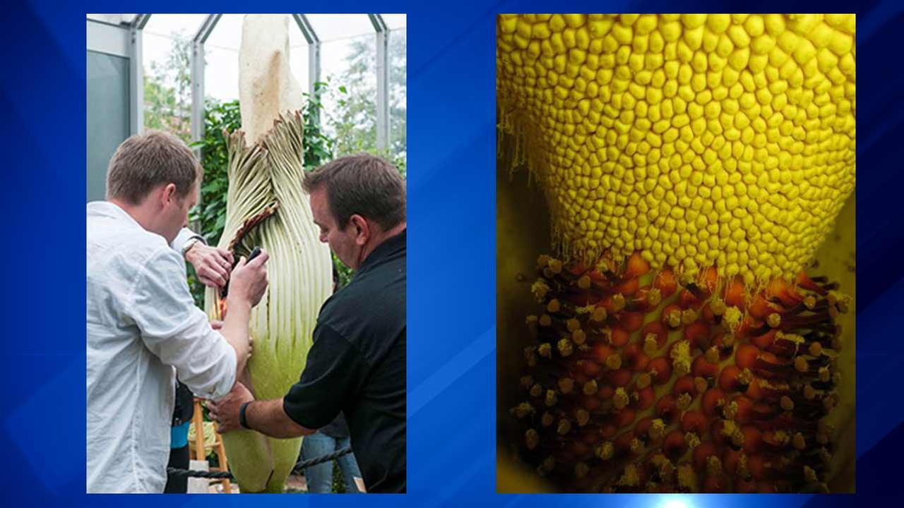 Scientists at the Chicago Botanic Garden will manually open a rare tropical flower Sunday morning.