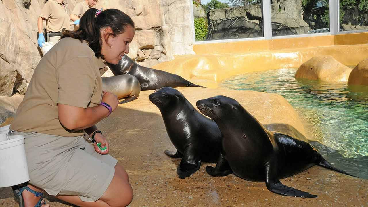 Kanuk (front) and Kodiak with Mairim Martinez, a marine mammal specialist at Brookfield Zoos Pinniped Point habitat.