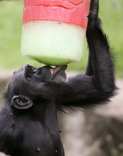 <div class='meta'><div class='origin-logo' data-origin='none'></div><span class='caption-text' data-credit='AP Photo/Rick Rycroft'>A chimpanzee enjoys a colorful iceblock as Christmas came early to residents of Sydney's Taronga Zoo.</span></div>