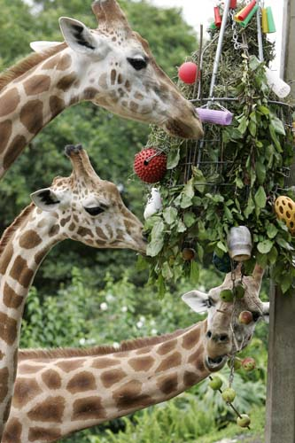 <div class='meta'><div class='origin-logo' data-origin='none'></div><span class='caption-text' data-credit='AP Photo/Rick Rycroft'>A trio of giraffes pick treats from a makeshift Christmas tree as Christmas came early to residents of Sydney's Taronga Zoo.</span></div>