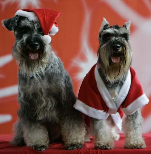 <div class='meta'><div class='origin-logo' data-origin='none'></div><span class='caption-text' data-credit='AP Photo/Aaron Favila'>Bacchus, left, and Irish, both Schnauzer dogs, dressed in a Santa Claus outfit pose during a fundraising event in suburban Manila, Philippines.</span></div>