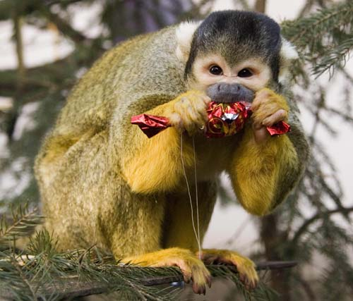 <div class='meta'><div class='origin-logo' data-origin='none'></div><span class='caption-text' data-credit='AP Photo/MTI, Attila Balazs'>A Bolivian squirrel monkey, Saimiri boliviensis, eats a Christmas fondant it received as Christmas present in the Animal Park of Nyiregyhaza, 245 kms east of Budapest.</span></div>