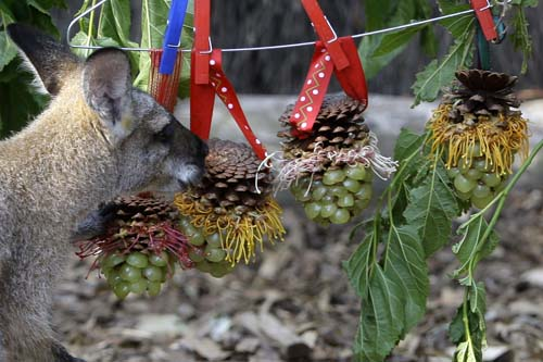 <div class='meta'><div class='origin-logo' data-origin='none'></div><span class='caption-text' data-credit='AP Photo/Rick Rycroft'>A wallaby samples decorative hangings of fruit and nuts as animals at Taronga Zoo in Sydney, Australia, receive special Christmas treats that encourage them to forage.</span></div>