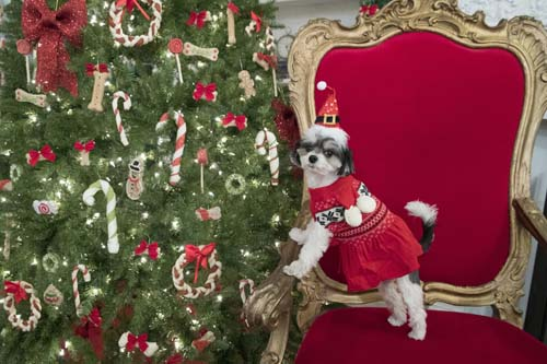 <div class='meta'><div class='origin-logo' data-origin='none'></div><span class='caption-text' data-credit='AP Photo/Mary Altaffer'>Tinkerbelle the Dog models a Martha Stewart Pets scarf sweater and a Santa hat during the PetSmart holiday collection preview in New York.</span></div>