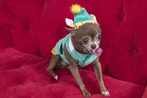 <div class='meta'><div class='origin-logo' data-origin='none'></div><span class='caption-text' data-credit='AP Photo/Mary Altaffer'>Chloe Kardoggian, a 12-year old rescue chihuahua, models a guinea pig elf costume during the PetSmart holiday collection preview in New York.</span></div>