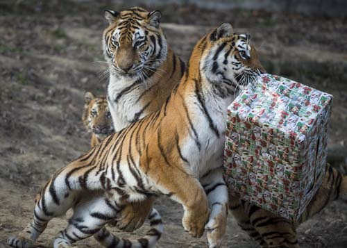 <div class='meta'><div class='origin-logo' data-origin='none'></div><span class='caption-text' data-credit='Boglarka Bodnar/MTI via AP'>A tiger tries to unwrap a cardboard box containing chicken meat it received as Christmas gift in the zoo in Veszprem, 108 kms southwest of Budapest, Hungary.</span></div>
