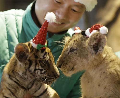 <div class='meta'><div class='origin-logo' data-origin='none'></div><span class='caption-text' data-credit='AP Photo/Ahn Young-joon'>A lion cub named Dominjun, right, and a tiger cub named Jangbori wear Santa Claus caps during an event to celebrate Christmas at the Everland amusement park in Yongin, South Korea</span></div>