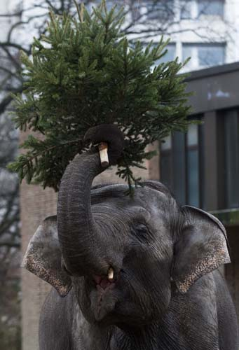 <div class='meta'><div class='origin-logo' data-origin='none'></div><span class='caption-text' data-credit='AP Photo/Markus Schreiber'>An elephant holds  a Christmas tree at the Berlin Zoo at the launch of the annual feeding of Christmas trees in Berlin.</span></div>