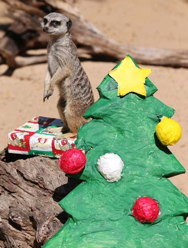 <div class='meta'><div class='origin-logo' data-origin='none'></div><span class='caption-text' data-credit='AP Photo/Rick Rycroft'>A meerkat named Bob inspects a present left near a makeshift Christmas tree at Taronga Zoo in Sydney. The zoo is celebrating Christmas with the animals.</span></div>