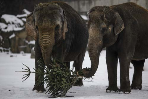 <div class='meta'><div class='origin-logo' data-origin='none'></div><span class='caption-text' data-credit='AP Photo/Markus Schreiber'>Two elephants feed on a Christmas tree at the zoo Tierpark in Berlin, Germany. Every year discarded Christmas trees are offered to the animals as a snack.</span></div>