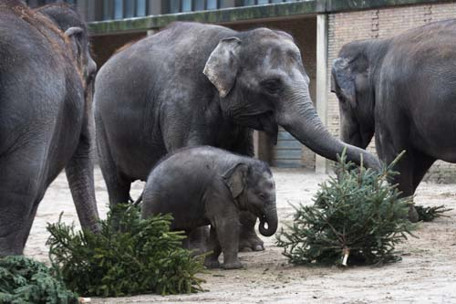 <div class='meta'><div class='origin-logo' data-origin='none'></div><span class='caption-text' data-credit='AP Photo/Markus Schreiber'>Elephants eat Christmas trees  at the Berlin Zoo at the launch of the annual feeding of Christmas trees in Berlin.</span></div>