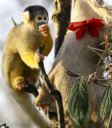 <div class='meta'><div class='origin-logo' data-origin='none'></div><span class='caption-text' data-credit='AP Photo/Kirsty Wigglesworth'>A Squirrel monkey investigates a Christmas stocking,  during a media opportunity at London Zoo.</span></div>