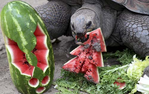 <div class='meta'><div class='origin-logo' data-origin='none'></div><span class='caption-text' data-credit='AP Photo/Rob Griffith'>An Aldabra tortoise bites into a watermelon at Taronga Zoo in Sydney, Australia.</span></div>
