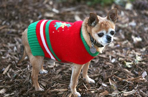<div class='meta'><div class='origin-logo' data-origin='none'></div><span class='caption-text' data-credit='AP Photo/Richard Vogel'>An 8-year old Chihuahua named Coco is seen out in the winter cold in his new Christmas sweater in Los Angeles.</span></div>