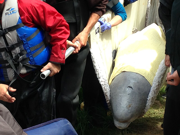 "<div class=""meta image-caption""><div class=""origin-logo origin-image none""><span>none</span></div><span class=""caption-text"">A team from the Shedd Aquarium helped rescue a beluga whale in Canada Thursday. (Whale Stewardship Project)</span></div>"