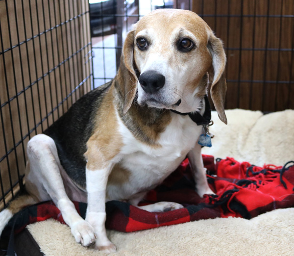 """<div class=""""meta image-caption""""><div class=""""origin-logo origin-image none""""><span>none</span></div><span class=""""caption-text"""">Benton, a 6-year-old Beagle mix recovering from a double ACL surgery (PAWS Chicago)</span></div>"""