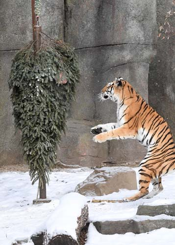 "<div class=""meta image-caption""><div class=""origin-logo origin-image none""><span>none</span></div><span class=""caption-text"">Christmas trees are usually destined for the curb this time of year, but a few of them were repurposed as a treat for animals at the Brookfield Zoo. (Brookfield Zoo)</span></div>"