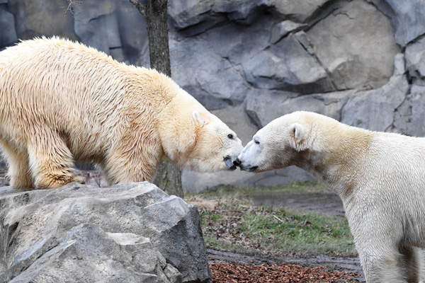 "<div class=""meta image-caption""><div class=""origin-logo origin-image none""><span>none</span></div><span class=""caption-text"">Nan and Hudson were introduced to one another at Brookfield Zoo this week. (Jim Schulz/Chicago Zoological Society)</span></div>"