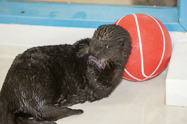 "<div class=""meta image-caption""><div class=""origin-logo origin-image none""><span>none</span></div><span class=""caption-text"">Everyone needs a little time out from the game. Luna, Shedd's rescued sea otter pup, enjoys an ice treat while leaning against her basketball!  (Shedd Aquarium)</span></div>"