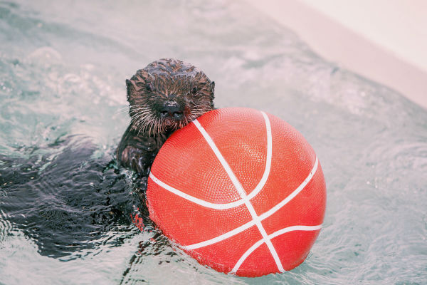 "<div class=""meta image-caption""><div class=""origin-logo origin-image none""><span>none</span></div><span class=""caption-text"">Luna is in the March Madness spirit playing with one of her new favorite toys, a basketball! (Shedd Aquarium)</span></div>"