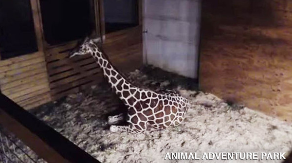 "<div class=""meta image-caption""><div class=""origin-logo origin-image none""><span>none</span></div><span class=""caption-text"">April the Giraffe is having a baby, and she's ready to give birth at any moment!</span></div>"
