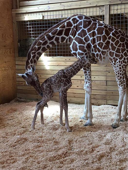 <div class='meta'><div class='origin-logo' data-origin='none'></div><span class='caption-text' data-credit='Animal Adventure Park'>April the Giraffe's newborn calf.</span></div>