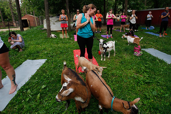 <div class='meta'><div class='origin-logo' data-origin='AP'></div><span class='caption-text' data-credit='AP Photo/Carrie Antlfinger'>In this photo taken July 19, 2017, goats walk through a yoga session at Oak Hollow Acres Farm in Burlington, Wis.</span></div>