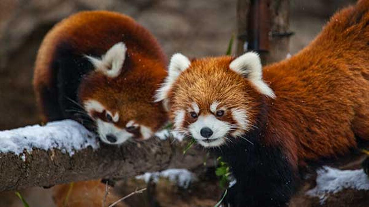 Lincoln Park Zoos red panda cubs played in the snow for the first time on Wednesday.