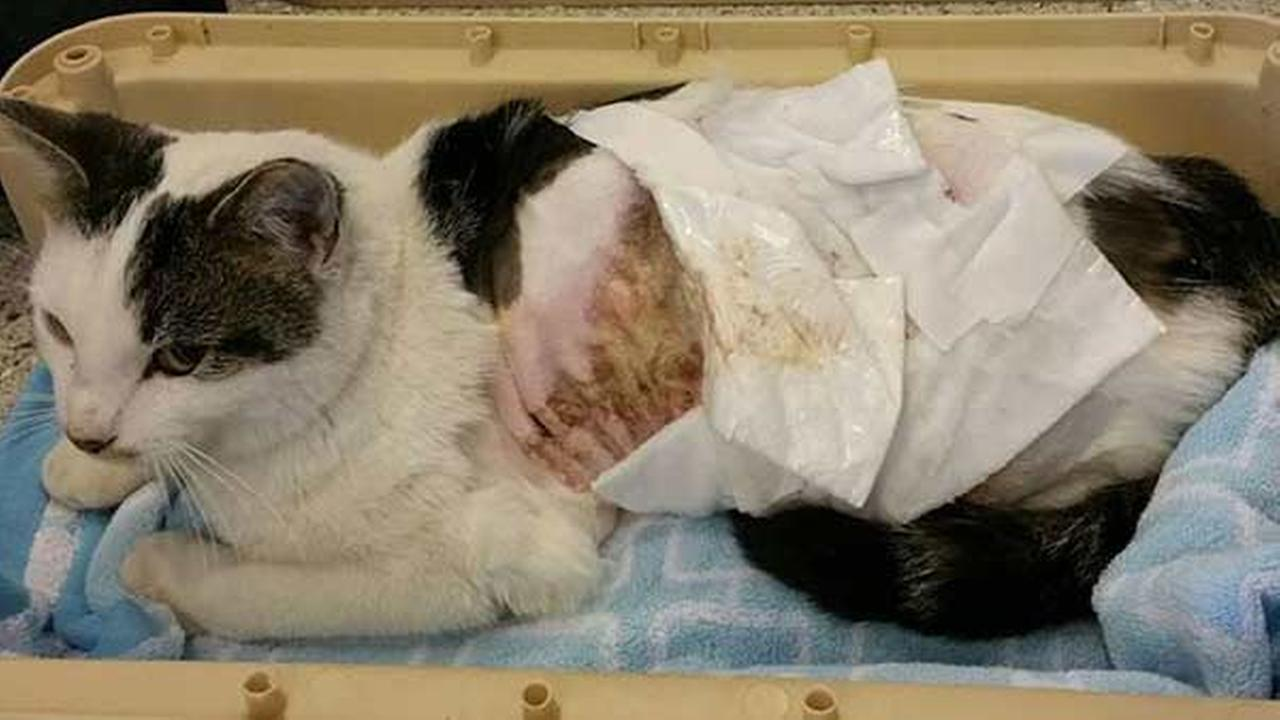 Animal shelter caring for cat scalded by boiling water