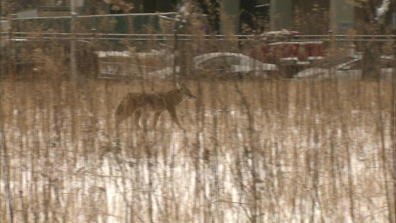Coyote spotted at Streeterville construction site