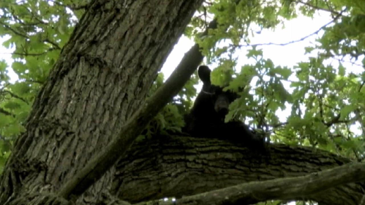 Black bear spotted in Ogle County tree