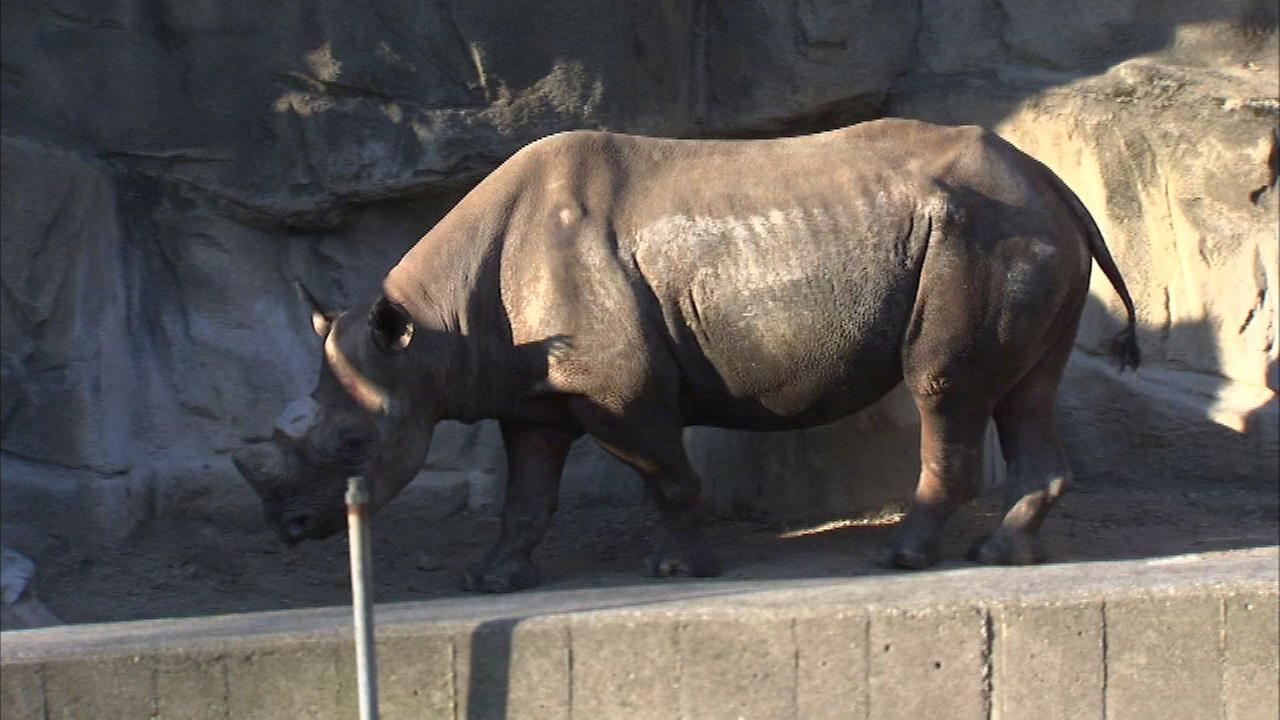 One of four Eastern black rhinoceros at the Lincoln Park Zoo on April 16, 2016.
